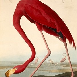 by John James Audubon (1827-1838), Birds of America; copperplate engraving, colored by hand. See neck.