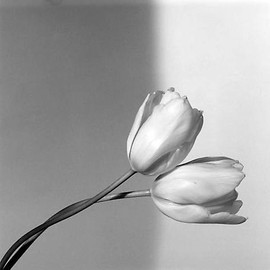 Robert Mapplethorpe - Flowers, Tulip, 1985