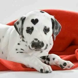 Dalmatian - cute heart markings