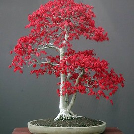 Maple Bonsai
