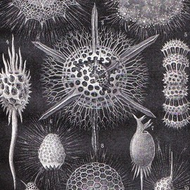 Original Antique Print - 1896 Radiolarians, Protozoa, Rhizosphaera Leptomita, Original Antique Print to Frame