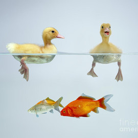 Fine Art America - Jane Burton and Photo Researchers - Ducklings and Goldfish Photograph  - Ducklings and Goldfish Fine Art Print