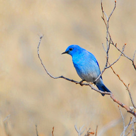 Lake Laberge Hills - Mountain Bluebird