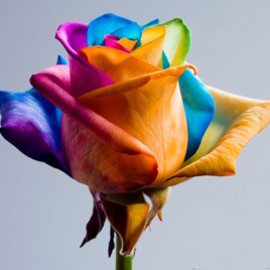 Nederland - Happy Roses/Rainbow rose