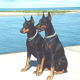 Dog - Doberman Pinschers