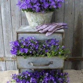 chest of drawers planted with Campanula