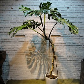 Botanical Fuga - Monstera High