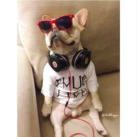 French Bulldog - beats