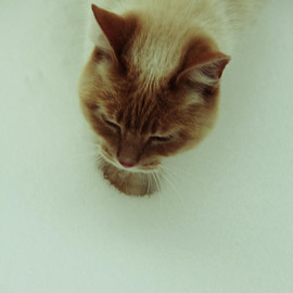 Fine Art America - Snow Kitten Photograph  - Snow Kitten Fine Art Print