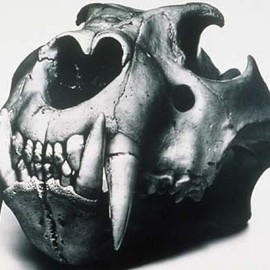 Irving Penn, Henry Moore - Lion Skull,1986 resembles a sculpture by Henry Moore