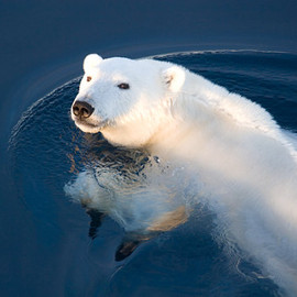 IraMeyerPhotography - A Polar Bear Glance (Hall Bredning, Greenland)