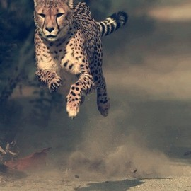 N/A - Cheetah In Full Speed