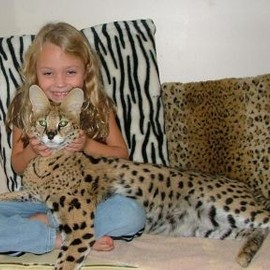 savannah cat - cute savannah cats