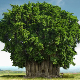 The Banyan - Banian tree