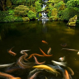 Kyoto, Japan  - Waterfall Koi Fish
