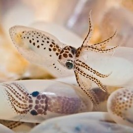 Baby Octopus Photo and caption by simon chandra  It was a privilege to watch baby octopus hatching. Photo Location Pramuka Island, Indonesia