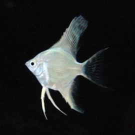 Fish - Platinum AngelFish