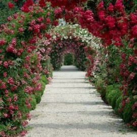 Lovely Rose arches!