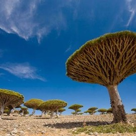 Socotra Island, Yemen - 'Dragon's Blood Trees'