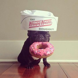 French Bulldog - Krispy Dog