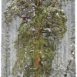 """National Geographic - The giant sequoia """"President"""""""