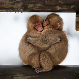sadaiche (Peter Franc) - Japan - Snow monkey babies