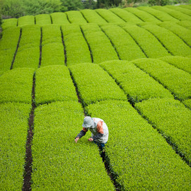 Tea quality checking before the picking day, Shizuoka, Japan