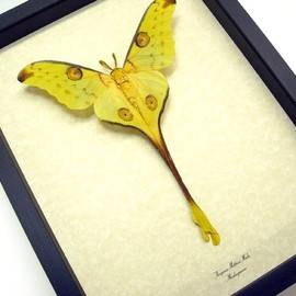 Argema mittrei male comet moth Fairy Moth fairy resting conservation framed display by butterfly-designs