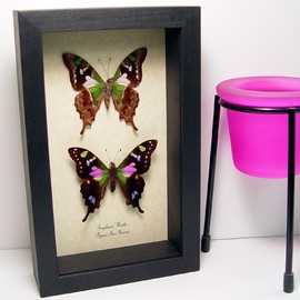 Graphium weiskei Pair Purple Spotted Swallowtail From Papua New Guinea Real Framed Butterfly and Moth Sets From Around The World