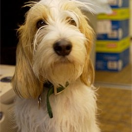 Dog, Petit Basset Griffon Vendéen - Chowder, the PBGV at 2 years old