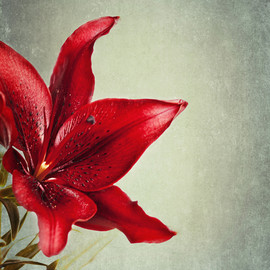Luulla - Red Lily Flower Photography Dramatic 8x10 Print