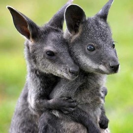 Baby swamp wallabies