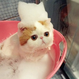 Cute kitty getting a bath. Exotic shorthair persian cat.