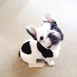 French Bulldog - Flipping adorable!