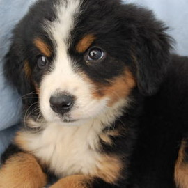 animal, dog - Bernese Mountain Dog