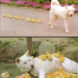 A dog and ducklings