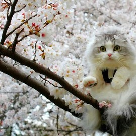 Cat - Cherry Blossoms