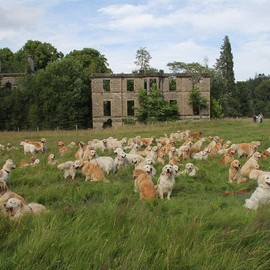 the Highlands of Scotland - A record breaking gathering of golden retrievers met up at the Guisachan Estate near Beauly