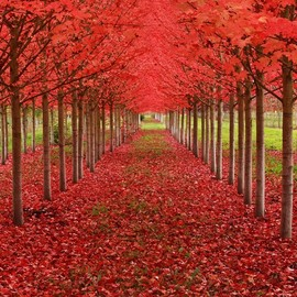 USA - Maple Tree Tunnel