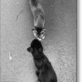 Fine Art America - Two Kittens Which Kiss Metal Print By Photographer, Loves Art, Lives In Kyoto