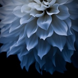 dahlia #photograph #flower #blue