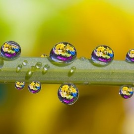 Fine Art America - Water Drops On A Flower Stem Canvas Print / Canvas Art - Artist Craig Tuttle