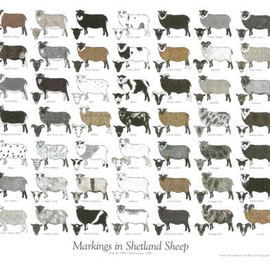 Markings in Shetland Sheep ポスター