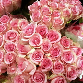 pink roses♡