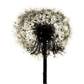 Irving Penn - Dandelion/ Taraxacum officinale, New York, 1973