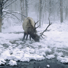 Elk-Bull Grazing in Winter - WY 写真プリント